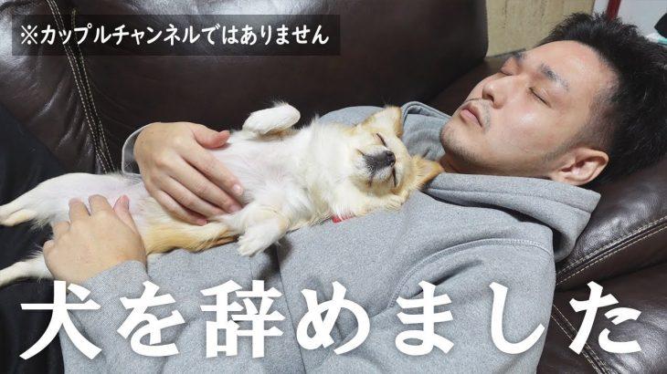 我が家の愛犬が犬を辞めました。※カップルチャンネルではありません【チワワ】【dog】【chihuahua】